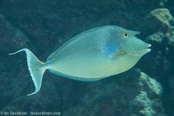 BD-120422-St-Johns-6011-Naso-unicornis-(Forsskål.-1775)-[Bluespine-unicornfish.-Noshörningsfisk].jpg